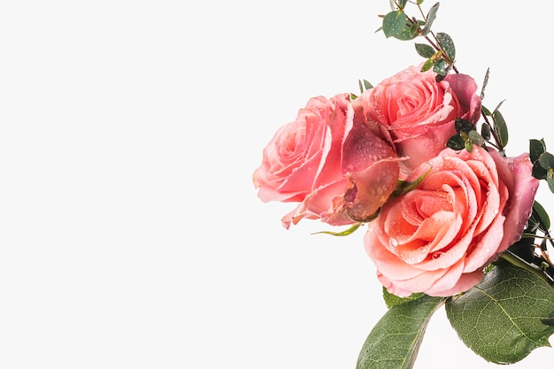 水滴と白い背景の上の緑の葉を持つ美しいバラ。