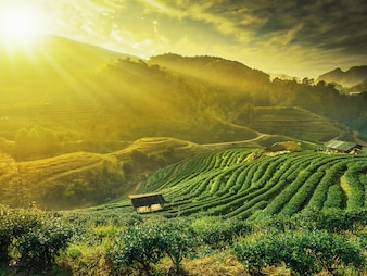 Beautiful rows of tea plant