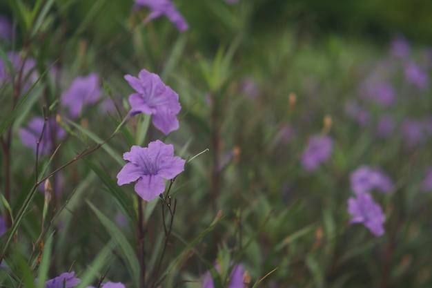 Beautiful ruellia tuberosa