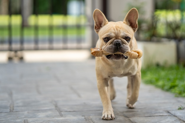 Beautiful running french bulldog with a rawhide bone in his mouth.