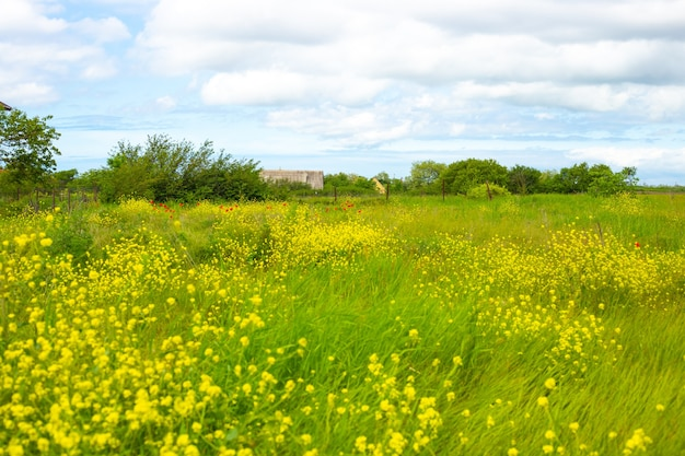 Beautiful rural summer landscape. green meadow with blooming rapeseed and poppies, in the background a village house.