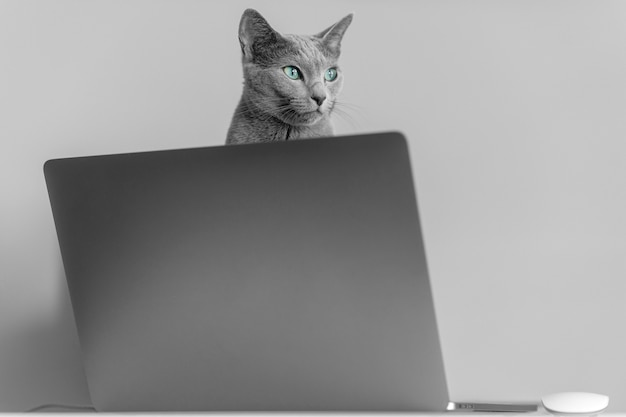 Beautiful russian blue cat with funny emotional muzzle sitting on keayboard of notebook relaxing in home interior on gray background. breeding adorable gray kitten with blue eyes resting on laptop