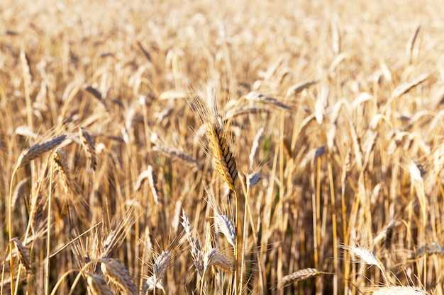 Beautiful rye of golden color ripe and ready to harvest grain, close-up