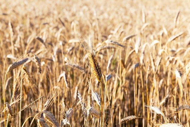 熟した黄金色の美しいライ麦、穀物を収穫する準備ができて、クローズアップ