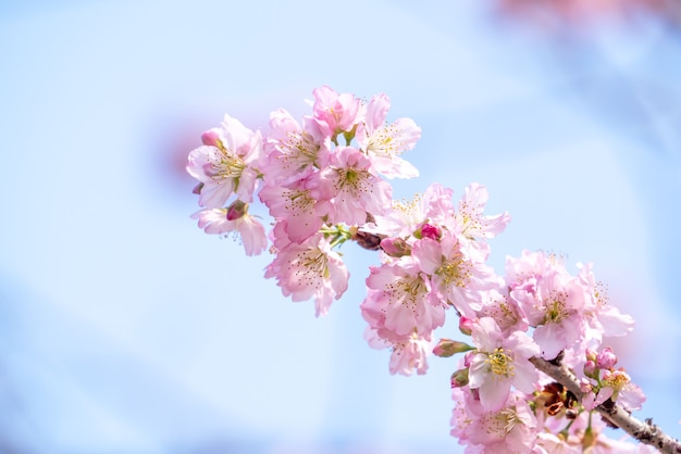 Beautiful sakura cherry blossom in pink color in springtime on the tree