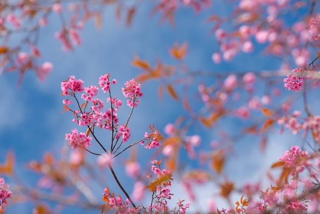 Beautiful sakura or cherry blossom in spring on blue sky , nature background
