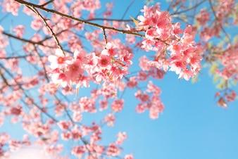 春の美しい桜の花(桜)。青い空に桜の木の花。