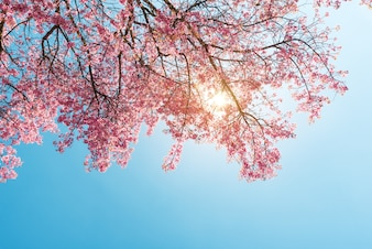 Beautiful sakura flower (cherry blossom) in spring