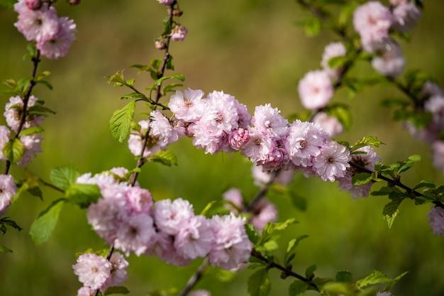 明るい緑のクローズアップを背景に美しい桜の花。香り高い花。