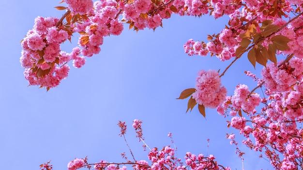 Красивые сакуры или вишневые деревья с розовыми цветами весной на фоне голубого неба