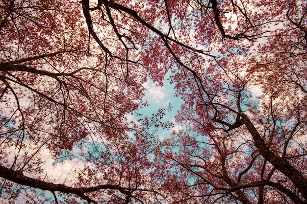 아름다운 사쿠라 터널 나무 야생 히말라야 체리 벚나무 cerasoides 또는 분홍색 벚꽃 꽃