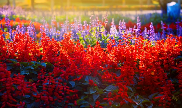 Beautiful of salvia splendens (scarlet sage or tropical sage) in the garden for background