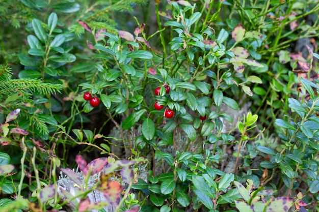 Beautiful scene with growing berries lingonberries in the forest close-up.