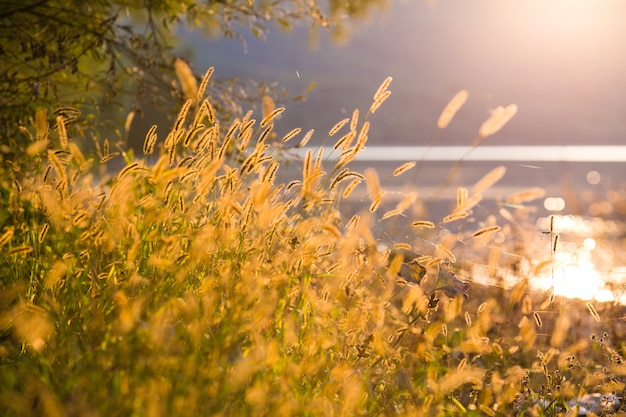Beautiful scene with waving wild grass on a sunset.