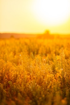 Beautiful scene with waving wild grass on a sunset.