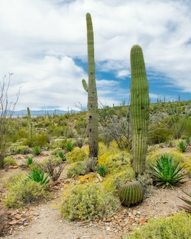 Beautiful scenery of different cacti and wildflowers in the sonoran desert outside of tucson arizona