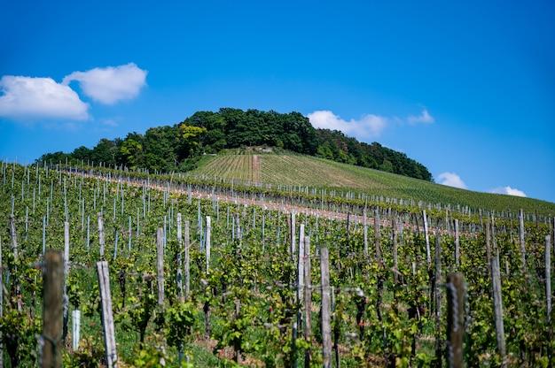 昼間の澄んだ青い空の下のブドウ園の美しい風景