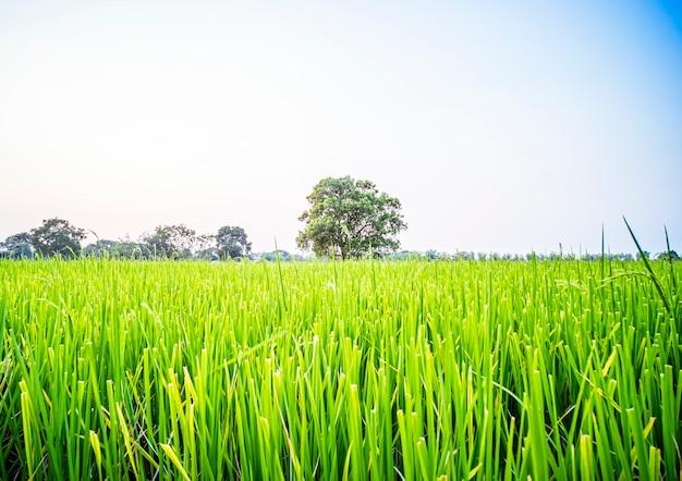 タイの農村地域の大きな木と緑の水田の美しい風景。