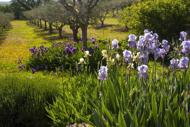 Bellissimo scenario di iris viola e un frutteto in provenza