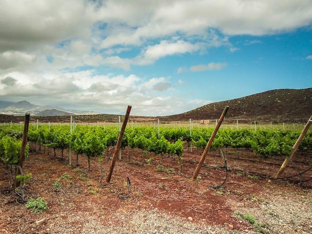 テネリフェ島のブドウ畑の美しい風景。雲の風景と緑と青の素敵な空でカラフル。平和なワイン産業の概念