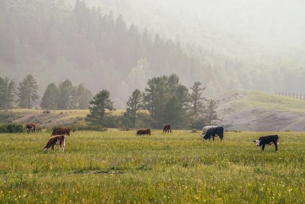 Красивый пейзаж с телятами и коровами, пасущимися на лугу в горной местности. живописный зеленый горный пейзаж с сельскохозяйственными животными в зеленом поле. горное пастбище с теленком и коровами в зеленой траве.