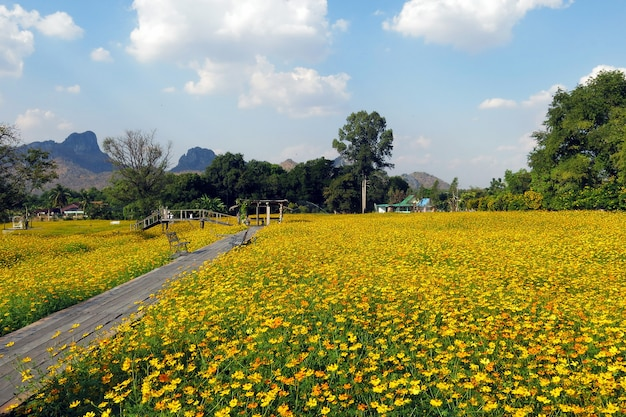 The beautiful scenery of yellow cosmos flower garden with a wooden bridge and beautiful clear blue sky
