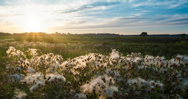 Beautiful scenic view of endless field with cornflowers buds covered with white cotton wool
