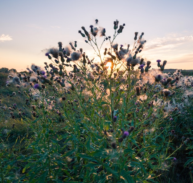 수레 국화 꽃 봉오리가있는 끝없는 들판의 아름다운 경치는 흰색 탈지면으로 덮여 있습니다.