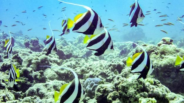 Beautiful schooling banner fish underwater in maldives.