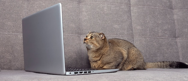 美しいスコティッシュフォールドの猫は、灰色のソファでノートパソコンを見ています。