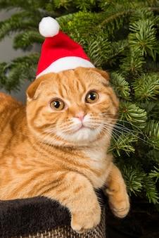 Красивая шотландская вислоухая рыжая кошка в новогодней шапке сидит возле елки