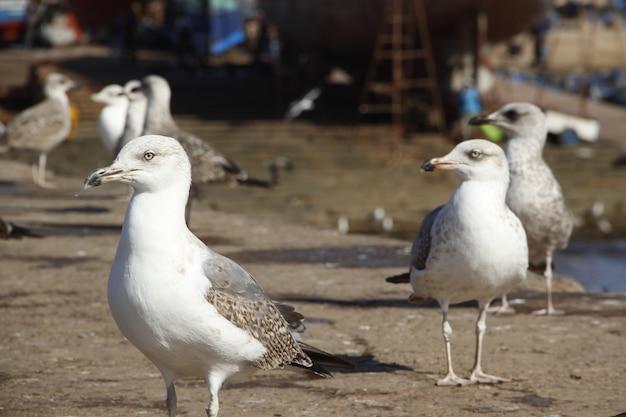 Beautiful seagulls on the coast of essaouira
