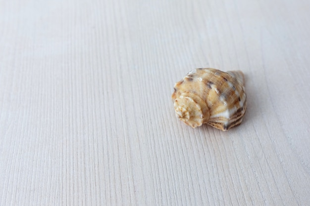 Beautiful seashell from the sea on a light wooden background