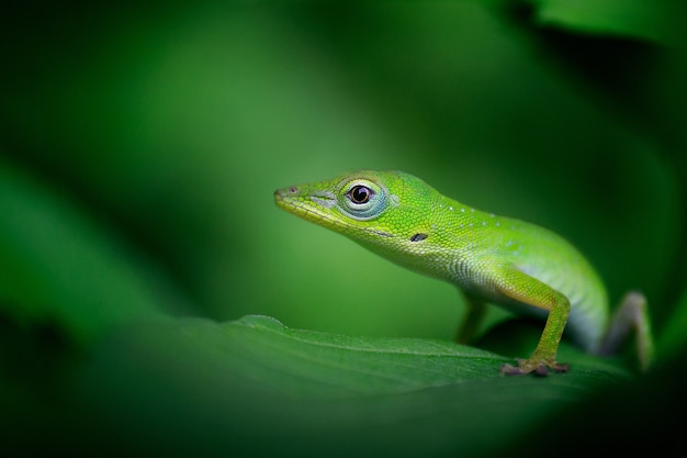 Beautiful selective focus shot of a bright green gecko on a leaf
