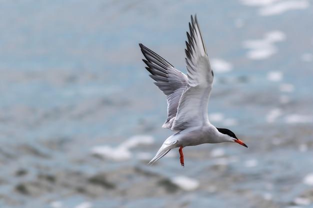 飛んでいるキョクアジサシの美しいセレクティブフォーカスショット