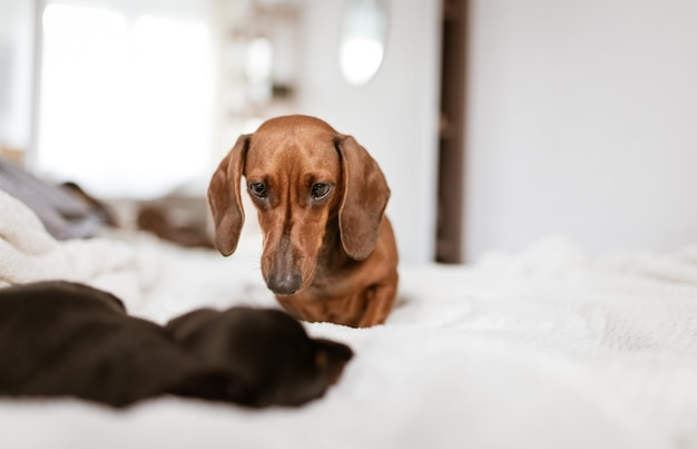Beautiful selective focus shot of two dachshund puppies looking at each other