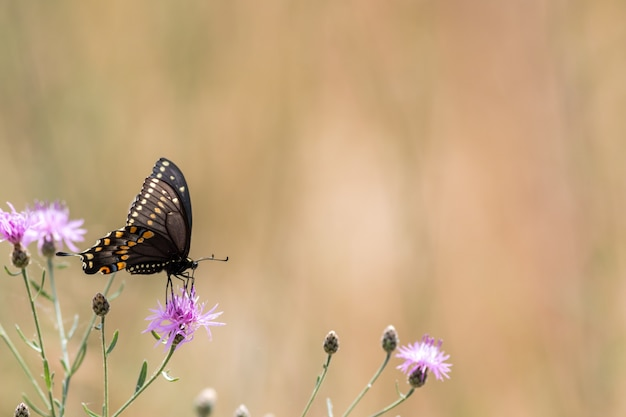 Beautiful selective shot of a black swallowtail butterfly pollinating a purple thistle flower