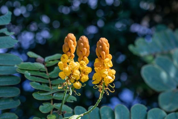 美しいセナアラタ植物。皇帝の燭台とも呼ばれます