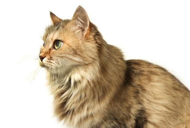 Beautiful shaggy cat sitting isolated on white