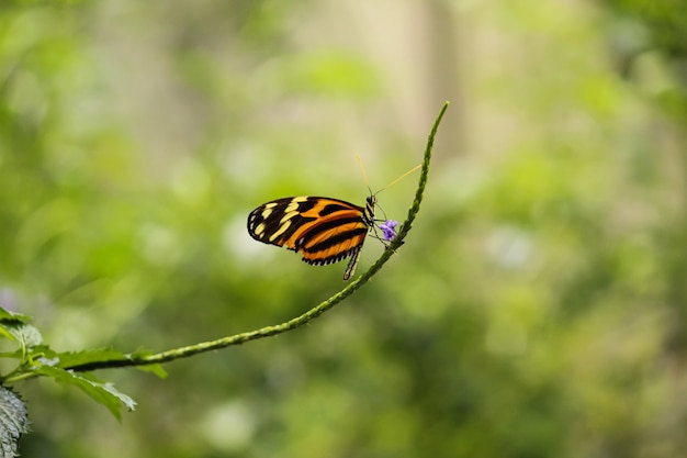 Beautiful shallow focus shot of isabella longwing butterfly on thin branch with single purple flow
