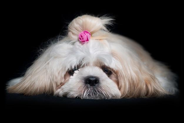 黒の背景に美しいシーズーショークラスの犬