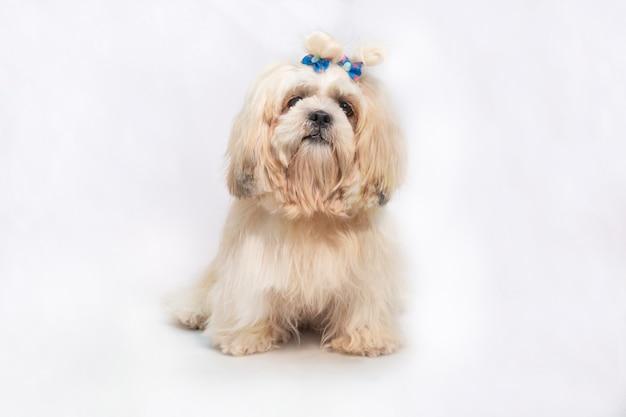 白い背景の上の美しいシーズーショークラスの犬