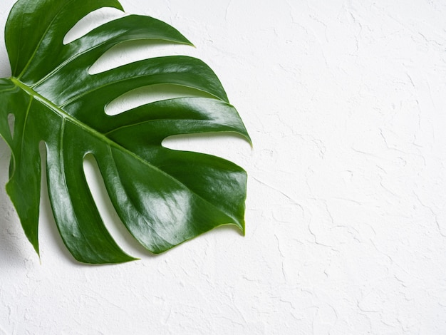 Beautiful shiny monstera leaves on white background