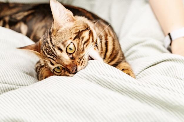 집에서 침대에 누워 아름다운 짧은 머리 젊은 고양이, 벵골 고양이 애완 동물 연주