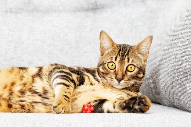 집에서 침대에 누워 아름 다운 짧은 머리 젊은 고양이