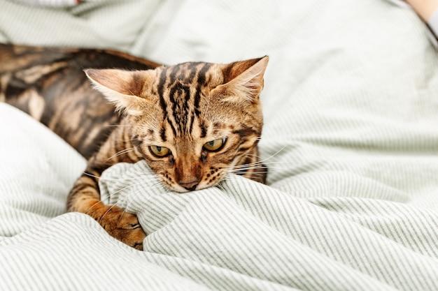 집에서 침대에서 노는 아름다운 짧은 머리 젊은 고양이