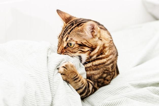 집에서 침대에 아름 다운 shorthaired 젊은 고양이