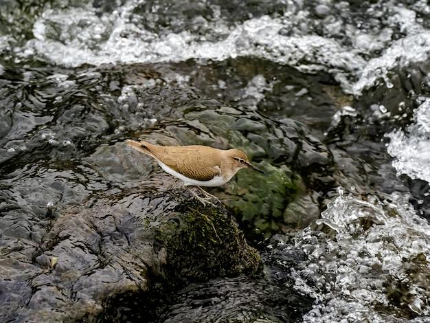 Красивый выстрел обыкновенного кулика возле реки сакаи в лесу в канагаве, япония