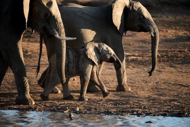 Bellissimo scatto di un elefantino africano che cammina con la mandria