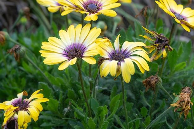 Beautiful shot of african daisies